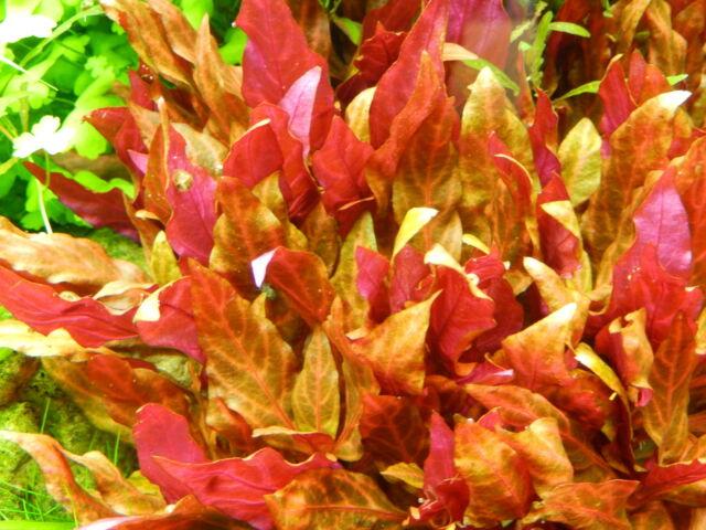 1 d'alternantera rosanervig rouge  plante  aquarium nano bac crevette rare
