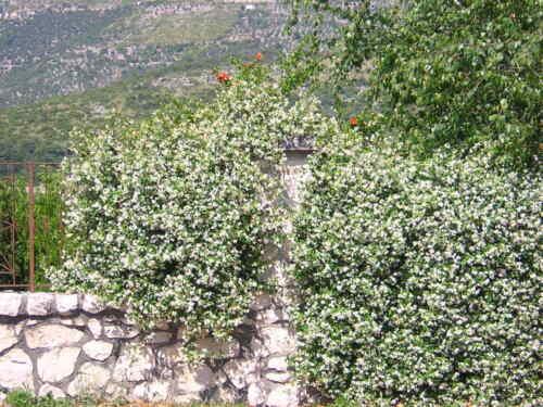 TRACHELOSPERMUM JASMINOIDES v16 Falso gelsomino pianta Confederate jasmine plant