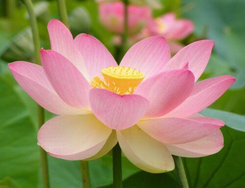 Teichblume. Die exotische i Lotusblume !i verströmen ein wohlriechenden Duft