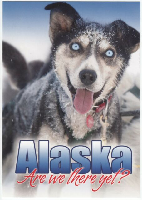 Postcard Eager Alaska Sled Dog on Iditarod Trail