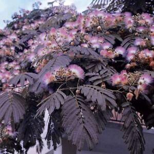 Albizia-julibrissin-var-verano-Chocolate-purpura-arbol-de-seda-planta-en-Maceta-3-5-034