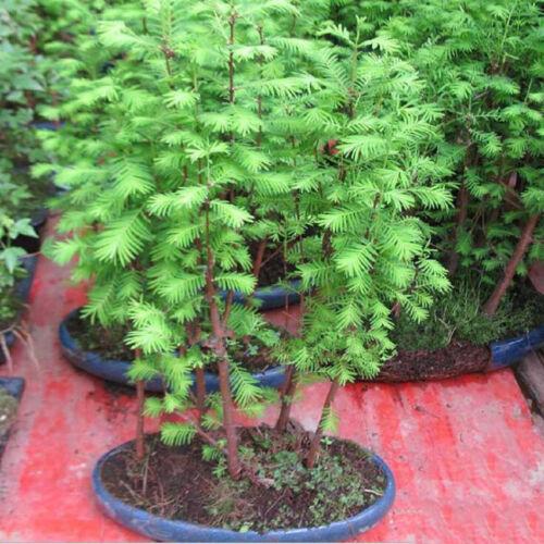 60Pcs//bag Coast Redwood Seeds Sequoia  Bonsai Tree Tree Seeds Easy to Grow