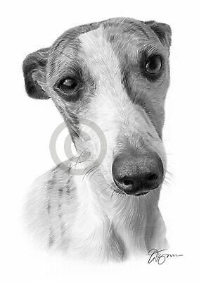 WHIPPET dog pencil drawing art print A4//A3 signed artwork by UK artist