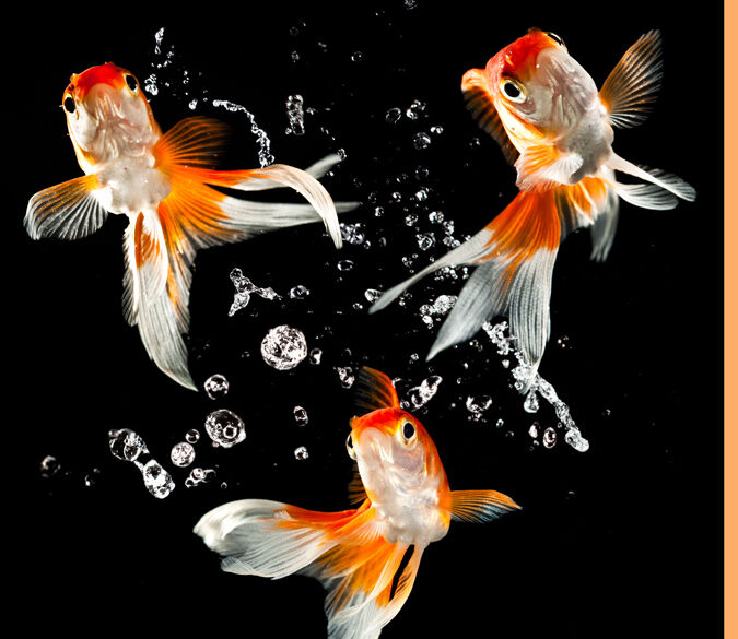 3D Beautiful goldfish 1 WallPaper Murals Wall Print Decal Wall Deco AJ WALLPAPER