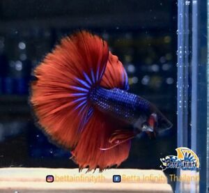 (Limited) : Premium Live Betta Fish : Male : Half Moon Blue Vampire