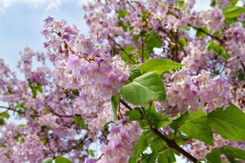 Kübelpflanze winterhart Samen exotisch ganzjährig Zierpflanze BLAUGLOCKENBAUM