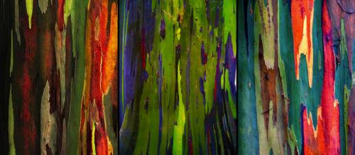 RAINBOW EUCALYPTUS  50 SEEDS Eucalyptus Deglupta