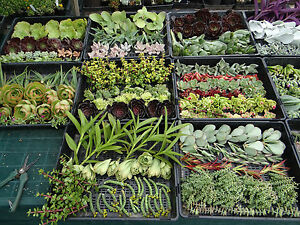 Wedding-SUCCULENT-cuttings-for-bonbonniere-or-gifts-50-cuttings-plus-50-pots