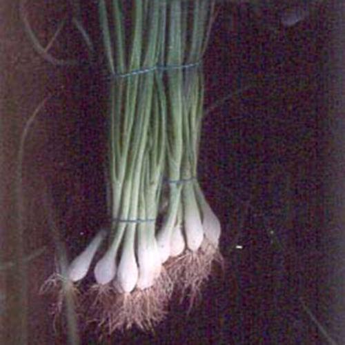 Spring Onion 100 Seeds Ramrod Vegetable