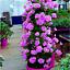 100-Pcs-Climbing-Geranium-Seeds-Pelargonium-Plant-Bonsai-Perennial-Flower-Garden thumbnail 12