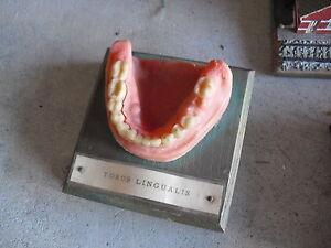 vintage dentist lower jaw display with teeth torus lingualis look ebay