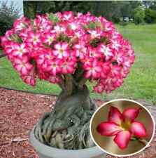 1pcs Red Desert Rose Flower Seeds Garden Adenium Obesum Succulent Potted Plant