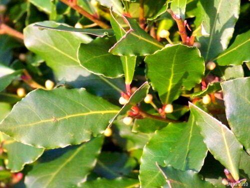 5 Seeds Laurus Nobilis Sweet Bay Culinary Herb or Topiary