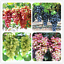50-Pcs-Graines-Gold-Finger-Grape-Bonsai-fruits-BIO-excellente-qualite-jardin-NOUVEAU miniature 1