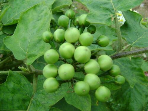 200 Seeds Thornless Eggplant  Vegetable Herb Solanum D413