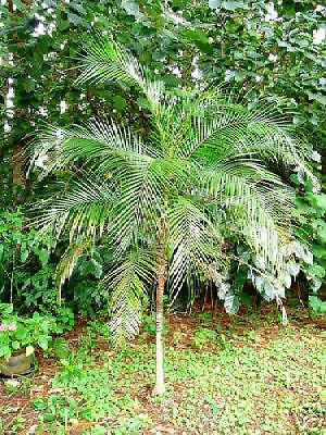 FRESH LIVE COCONUT PALM TREE SEED for sprouting or eating  FLORIDA