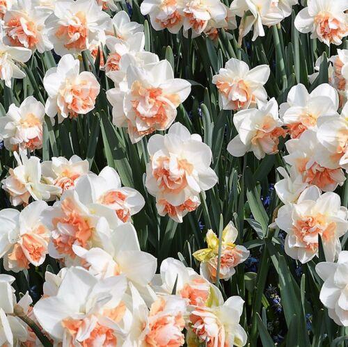 RARE double Daffs Narcisse pleine x 10 ampoules très limité Stock