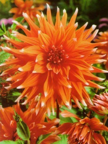 Seeds Zinnia Cacticolor Orange Red Flowers Annual Outdoor Garden Cut Organic