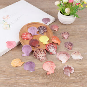 20Pcs-Colorful-Natural-Seashells-Decor-Scallop-Shells-Crafts-Decor-Ornameny3