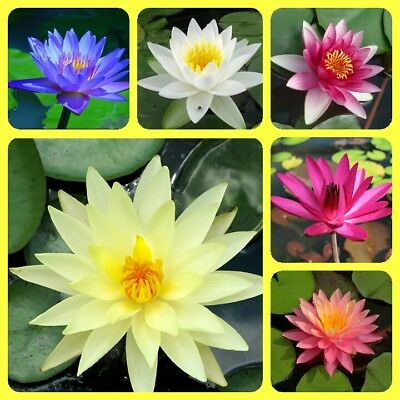 Flower RED LOTUS SEEDS Nymphaea Asian Water Lily Pad Flower Pond Seed garden dec