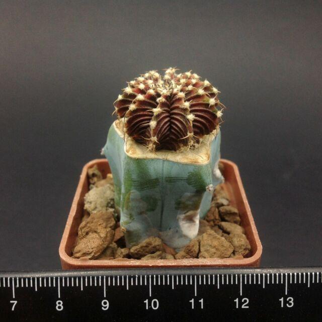 H.100 FRESH SEEDS Gymnocalycium friedrichii LB2178 AGUA DULCE