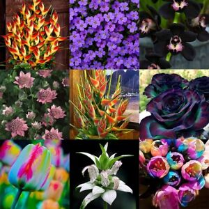 100-STUCKE-Seltene-Blumen-Samen-Exotische-Blumentopf-Hausgarten-Bonsai-Pflanzen