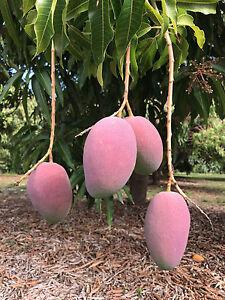 Image Is Loading 2 Florida Mango Scion Wood Sticks Cuttings For