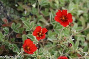 Blutauge-Potentilla-atrosanguinea-Pflanze-ab1-95-Staffelpreise
