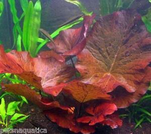 5 zenkeri nymphaea bulb red lotus live tropical aquarium plant water