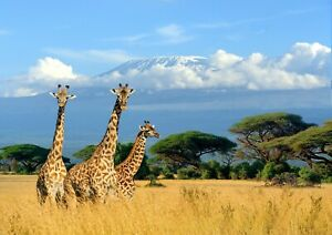 Awesome-African-Giraffes-Poster-Size-A4-A3-Wild-Animals-Poster-Gift-8150