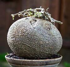 5 FOCKEA EDULIS PG_001 seeds samen korn semi caudex no stapelia orbea caralluma