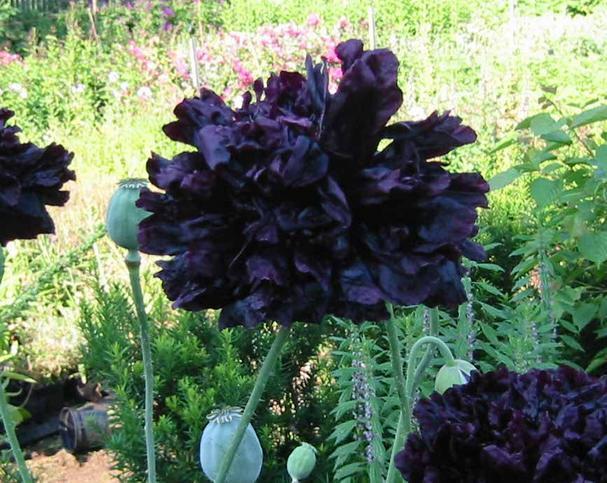 FLOWER POPPY PAPAVER PAEONIFLORUM BLACK PEONY  2000 SEEDS