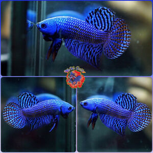 Live Betta Fish Male FIGHTING Mahachai Wild Betta #B613