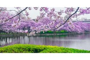 Cherry-Blossoms-In-Bloom-Flowering-Trees-Photo-Art-Print-Poster-24x36-inch