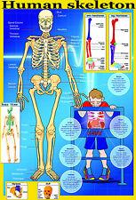 Laminado educativos Pared Poster tu Esqueleto | Cuerpo Humano clave huesos Aula