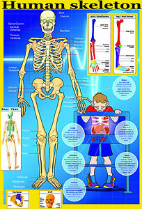 laminated educational wall poster your skeleton human body key bones classroom ebay. Black Bedroom Furniture Sets. Home Design Ideas