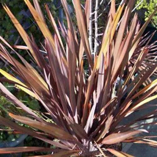 25 graines-Violet Nouvelle-Zélande Lin Lin TENAX PURPUREUM