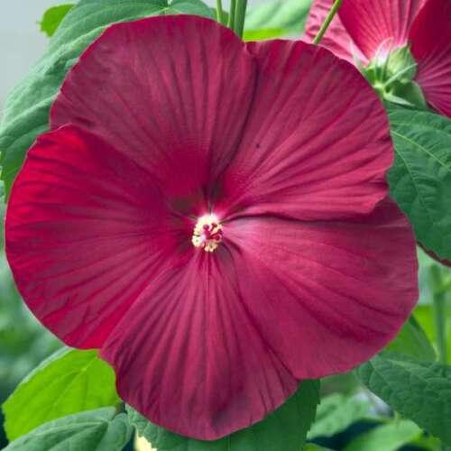 Hibiscus moscheutos /'Luna Red/' Luna Red Hibiscus One Gallon Container Plant