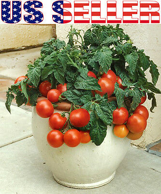 VEGETABLE TOMATO DWARF VARIETY WINDOW BOX RED 1000 FINEST SEEDS BULK