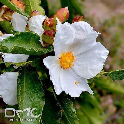 ROCK ROSE (Cistus Populifolius) 30+EXTRA seeds (#787)