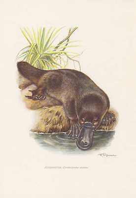 Schnabeltier Ornithorhynchus anatinus Farbdruck von 1959