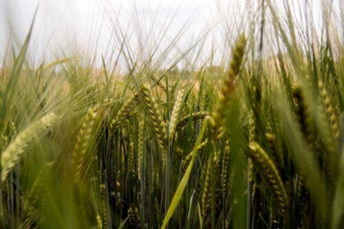 Sprouting Beer Seeds Barley Seeds Cover Crop 1 Lb Animal Fodder Planting