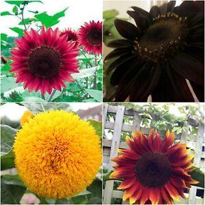 Free Post Australia Sunflower Seeds Red Yellow Velvet Black Various Colours Ebay
