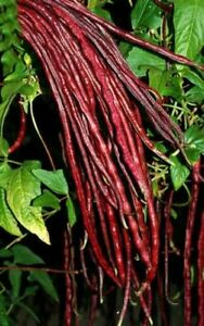 25 Chinese Red Noodle-Yard Long Bean Seeds HEIRLOOM-NON-G