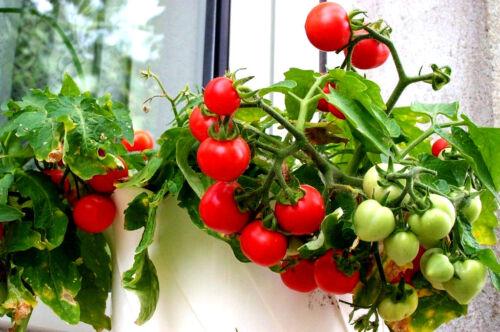 ZIMMERTOMATE rote kleine Partytomaten Ernte ganze Jahr im Topf Balkontomate