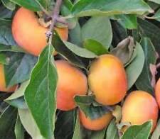 Hachiya Japanese Persimmon Fruit Tree Astringent 2 feet tall or taller