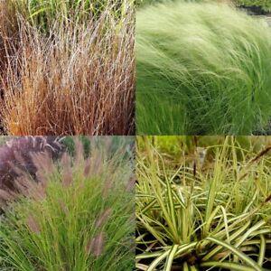 7 Stauden Pflanzen Verschiedene Ziergräser Gräser M1 Ziergras Gras