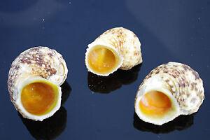 Turbo-Gold-Mouth-Medium-Sea-Shells-Seashells-for-Craft-Aquarium-Decoration