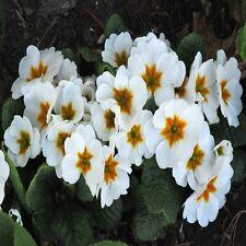 Fairy Primrose White Flower Seeds (Primula Malacoides White) 50+Seeds