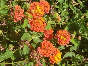 Lantana Camara, Miss Huff, Perennial (028C) House Plant, 25+ Fresh Seeds